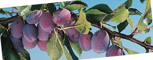 ドモホルンリンクル化粧落としジェルプルーン種子フルーティーな香り