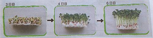 スプラウトした野菜が伸びる様子